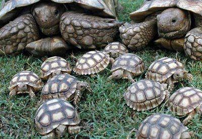 tortuga terrestre 2