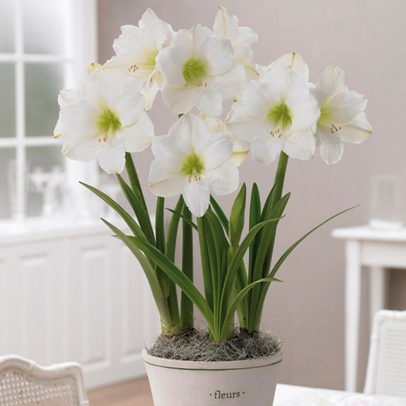 73 best images about indoor bulbs on pinterest gardens for Amaryllis christmas decoration