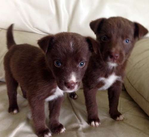 These 7 weeks old, intelligent, gorgeous, blue eyed furchildren, are wormed, de-flead, vaccinated and Microchipped. They will start their basic toilet training soon as well as travel, tether, lead, cry and basic command response training. Please call Keli-Elise on 0411238881 if you want to adopt one of these stunning little guys. Transport Australia wide in the proffessional care of JETPETS. They will be ready for  - https://www.pups4sale.com.au/dog-breed/450/Kelpie-(Australian).htm