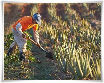Farmers Cultivating Forever Living's Aloe barbadensis Miller Plants #StabilizedAloeVera #AloeVera #ForeverLivingProducts