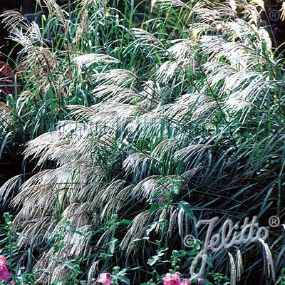 Early hybrids miscanthus grass seeds silver cream plumes for Ornamental grass with purple plumes