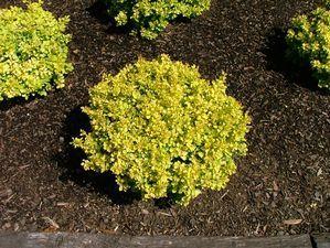 37 Best Images About Plants Deciduous Shrubs On
