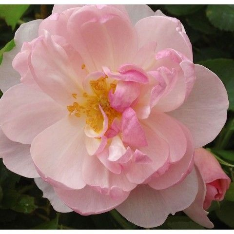 """""""Scarborough Fair"""" Modest in size and form, this lovely and reliable repeat blooming rose opens from round buds to form a 2 1/2"""" ball (petals 20) which is perfectly cupped hiding golden stamens in the center. The petals pale from soft pink to blush. Named for the English folk song made famous by Simon and Garfunkel."""