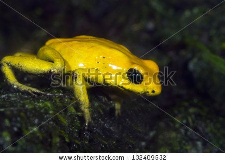 14 best frogs images on pinterest poison dart frogs