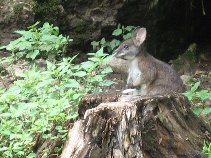 Canguru no jardim zoológico de Hellbrunn