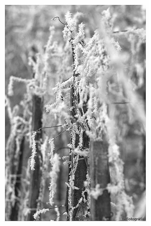 Zelovits Gábor Fehérség Eltűntek a színek, maradt helyette a fehérség vesszők dermedtek, merevvé ridegen e hidegben. De zordságuk, szépséget ad nekünk most nem zamatot, vagy ízeket mint megszoktuk hanem szoborszerű látványt, mert a szőlőnk ilyet is ád nekünk, mikor megpihen. Több kép Gábortól: www.facebook.com/gzelovits
