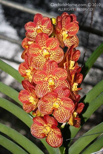 Ascocenda Bangsai Queen orchid