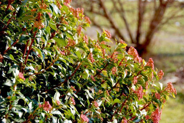 Il mondo in un giardino: Viburno thinus, un sempreverde che non può mancare! Il viburnum thinus è senza dubbio un arbusto che regala grandi soddisfazioni a chiunque la coltivi. E' una pianta sempreverde molto rustica, poiché sa adattarsi agli ambienti siccitosi e sopravvive senza problemi nei climi più rigidi, sopporta l'esposizione all'ombra, anche se fiorisce meno, ed è particolarmente resistente alle intemperie.