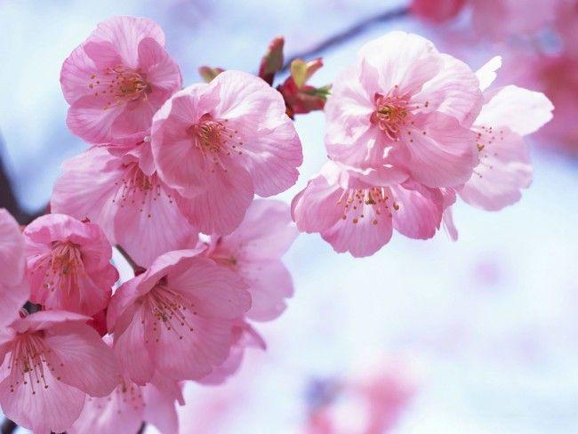 Японское дерево сакура: история, описание и фото