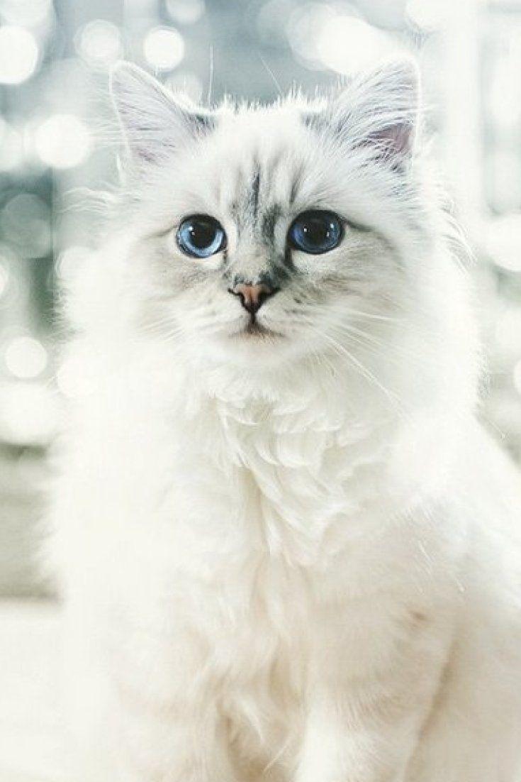 Karl Lagerfeld's Cat, Choupette