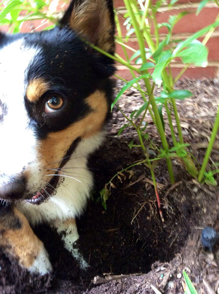 Yes, I'm helping you garden! #corgi
