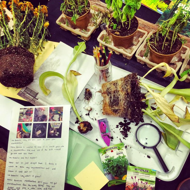 """We are investigating bulbs, seeds, and roots. This was a provocation from our """"Tiny Seed"""" inquiry. -Joanne Babalis (Blog: www.myclassroomtransformation.blogspot.com)"""