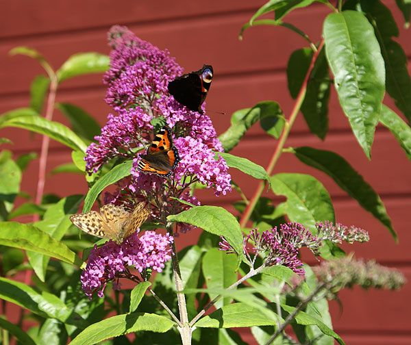 "Buddleja ""Butterfly Bush"""