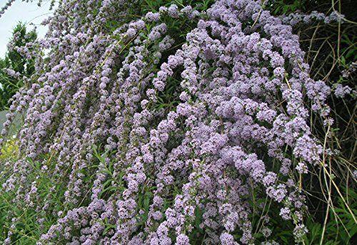 1 x Buddleja Alternifolia Weeping Butterfly Bush (Sent in... https://www.amazon.co.uk/dp/B00B19TRNA/ref=cm_sw_r_pi_dp_x_ZxcXybRSJEP9H