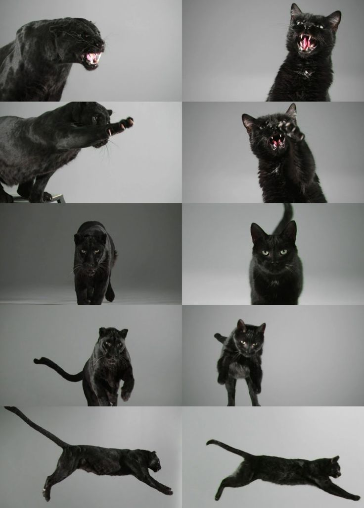 {Caturday: Domestic vs Jungle Cat} black panther / domestic black cat