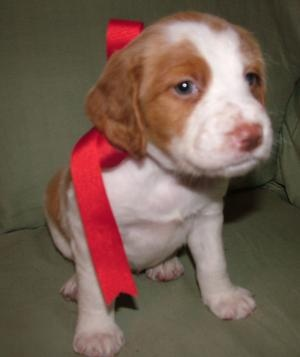 Brittany puppy even has a bow....looked just like my baby boy when I got him for Christmas! Oh how I miss him! :-(