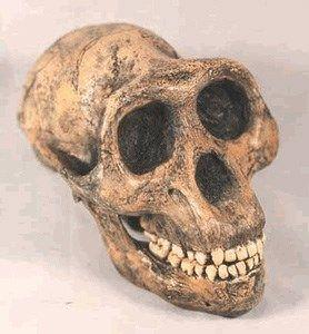 Lucy Australopithecus afarensis Skull