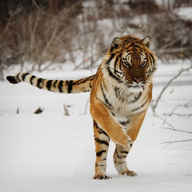Siberian Tiger Facts