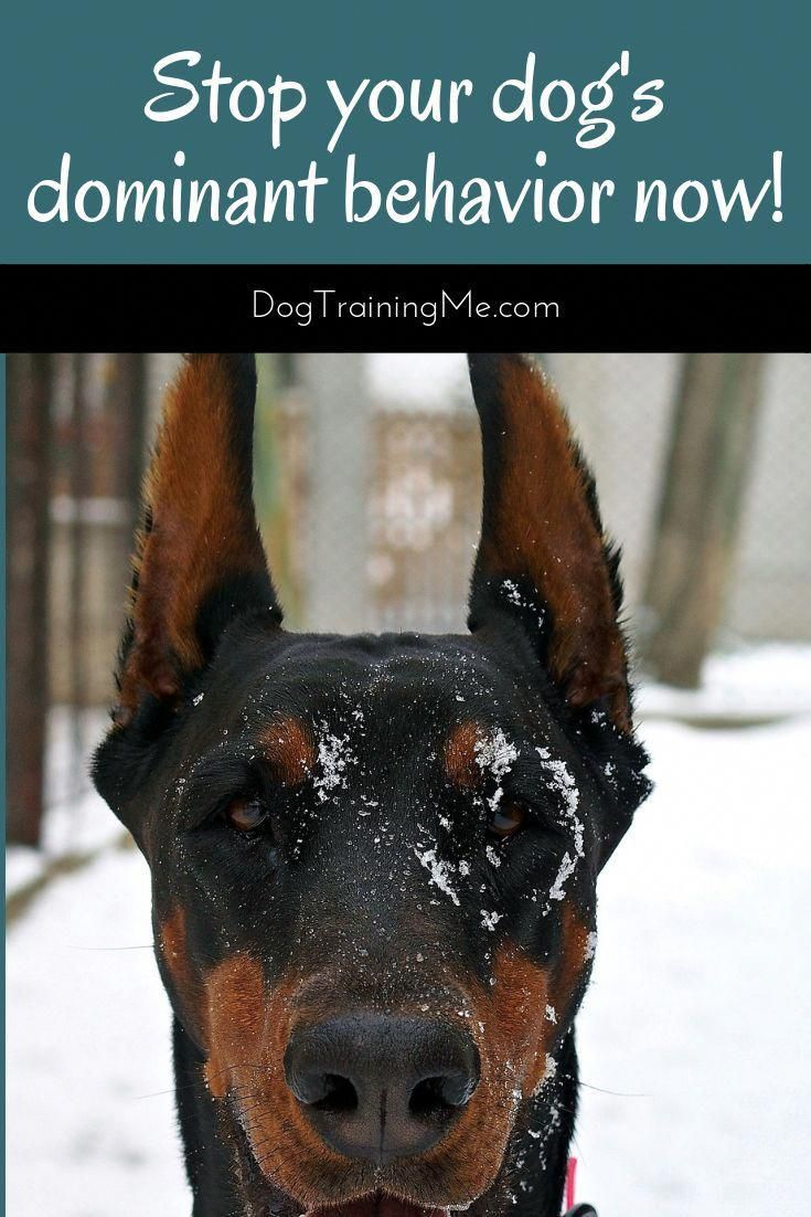 How To Train A Dominant Dog And Get Them To Be More Obedient Stop