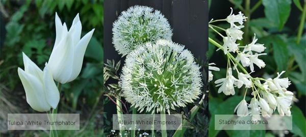 zetas juni staphylea colchica allium white empress