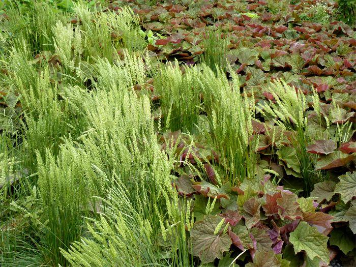 June Grass Koeleria Macrantha Is A Native Wisconsin