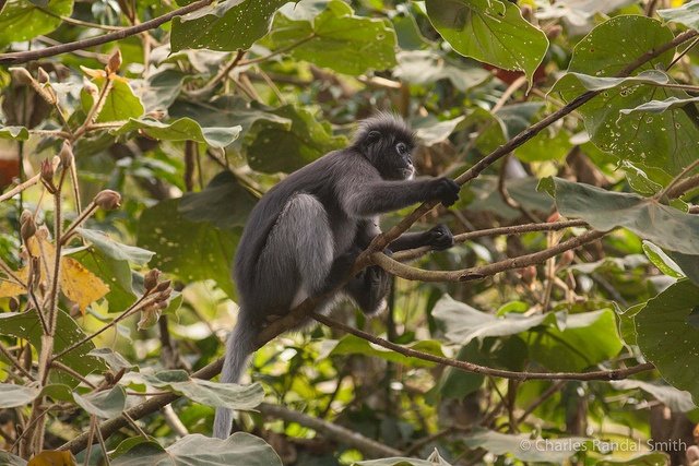 Dusky langur spotted while searching for Hornbills in Thailand's Kaeng Krachan National Park