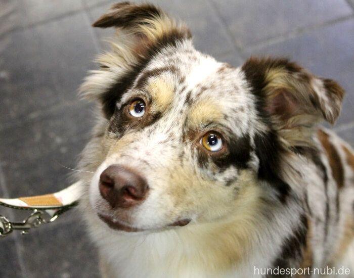 Hundemesse Hund Und Pferd In Dortmund Unser Bericht Hundesport Nubi Australian Shepherds Arbeitshunde Hunderassen