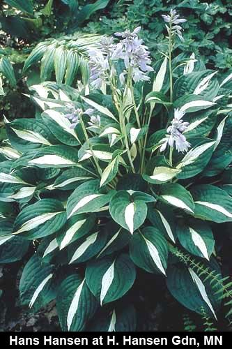 Hosta 'Risky Business' - This mutation of the wildly popular Hosta 'Striptease' boasts a pure white center (that holds all season) instead of the yellow center of its parent. Possessing the same incredible vigor, it forms a dense 2' wide clump in short order. In midsummer, the clumps are topped with 2' tall scapes of hummingbird-acclaimed violet flowers.