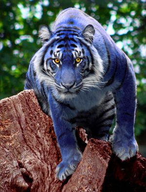 maltese tiger | Blueberry Tiger by Lurkily ( VERY rare ) - REALLY IS THAT COLOUR = ( NOT PHOTOSHOPPED ) ✔️