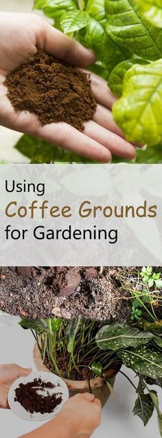 using coffee grounds for gardening gardens cool stuff