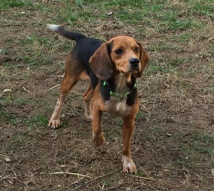 Meet Joey, a Petfinder adoptable Beagle Dog | Dumfries, VA I love the white tip of his tail..