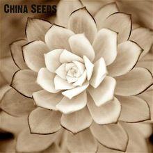 Nieuwe Zeldzame Schoonheid Vetplanten Zaden Makkelijk Groeien Ingemaakte Bloem planten 100 stks Bonsai Zaden Voor Huis & Tuin Gift Gratis verzending(China (Mainland))