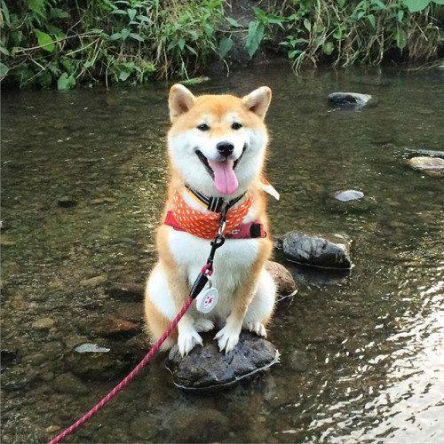 Can you pick me up? I don't want to get my paws wet! Spoiled Shiba Inu Shibe Doge