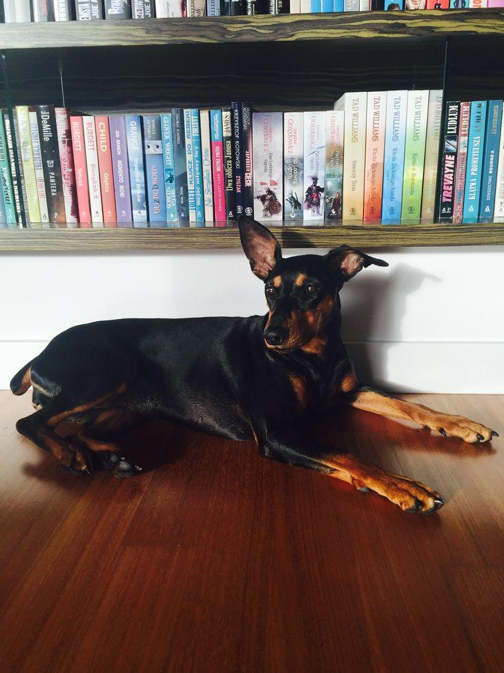 Dog germany pincher