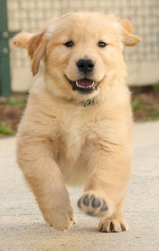 Golden Retriever Puppy Running Goldenretriever Puppys Pinterest