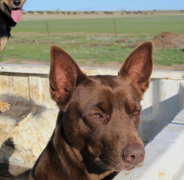 Australian Red Kelpie Sheepdog gazes across the paddocks
