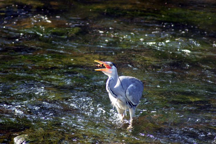 Heron -  Tolka River, Tolka Valley Park, Finglas, Co. Dublin. Photo by Christy McLoughlin