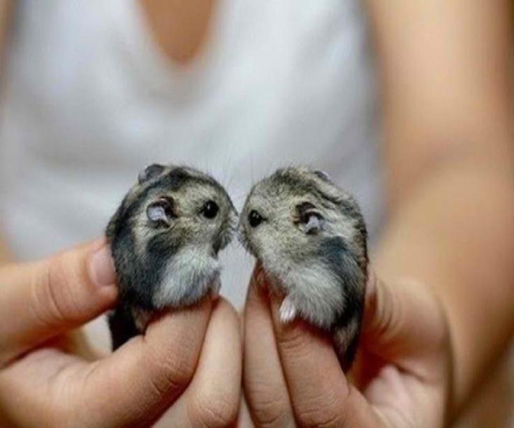 dwarf hamsters dwarf hamsters pinterest cute animals cute baby animals and cute hamsters. Black Bedroom Furniture Sets. Home Design Ideas