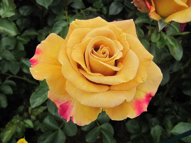 Honey Dijon - The Fragrant Rose Company
