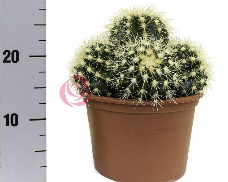 Echinocactus Grusonii (gruppo) POT 20 #Eurosa #ProducedThroughGreenTechnology