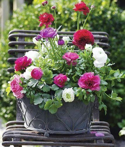 In diesem Blumenkasten haben Ranunkeln einen Solo-Auftritt - Bühne frei!