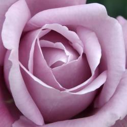 Las rosas Violetas: da a entender calma, autocontrol, dignidad y aristocracia.