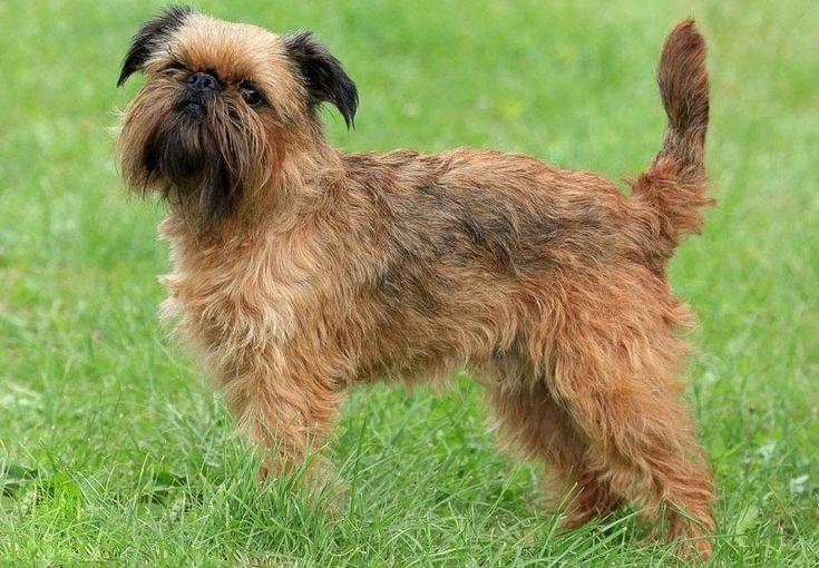 Dekoratív fajtájú kutyák: egy nagy lista a háziállatok és azok jellemzői (+ fotók)  Brüsszel Griffon