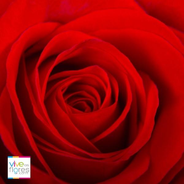No solo simbolizan el amor. Las Rosas Rojas de Vivelasflores.com tambien halagan la belleza y el respeto que los une...