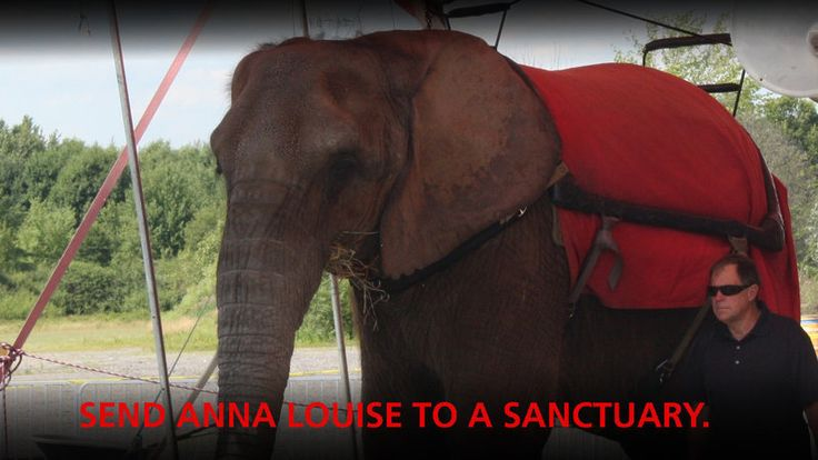 """Please sign to free """"dancing elephant"""" Anna Louise who is a female African elephant who has been held captive and used as a money-making prop by exhibitor Tom Demry since September 1988.   Born in Zimbabwe in 1981, Anna Louise was transferred to a US-based zoo in 1983 where she passed through several zoos before ultimately ending up condemned..."""
