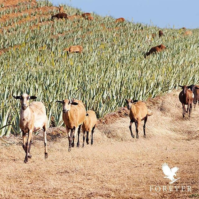 Look at these #AloeGoats #AloeSheep on Forever´s plantations in Texas and the Dominican Republic. The sheep and goats provide…