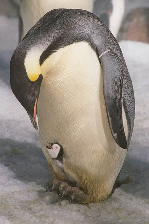 Emperor penguin and baby