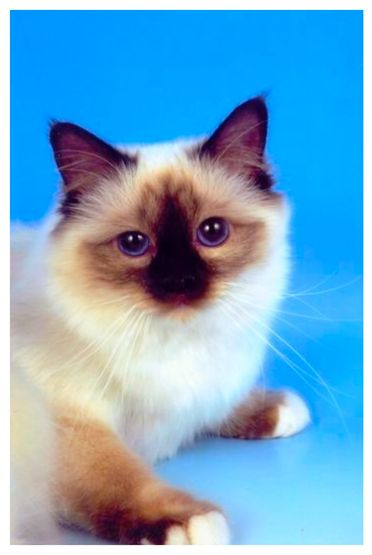106 best Cats Birman images on Pinterest Animals Html and