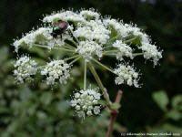 Angelica atropurpurea herb flower picture