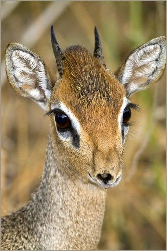 Kirk's Dik-Dik Antelope -- this is the cutest animal ever. Lives in Africa.